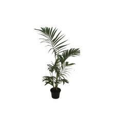 Areca Bambu Pote 11
