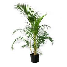 Areca Bambu Pote 24