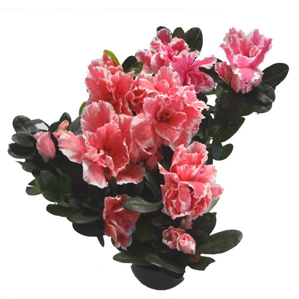 9782262385 Azaléia Mini Pt09 Sítios Planta