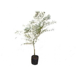 Bambu Mossô Pote 30