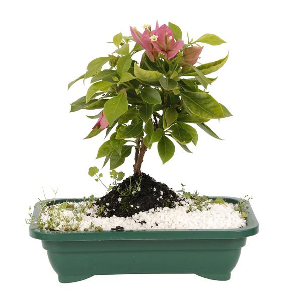 Bonsai fruta vaso 1 1l leroy merlin for Vaso terracotta leroy merlin