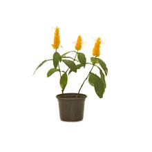 Camarão Amarelo 1L