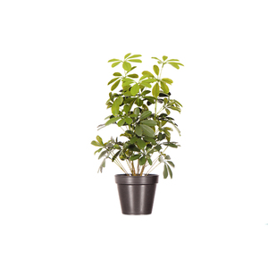 Cheflera Pequena Vaso 68cm