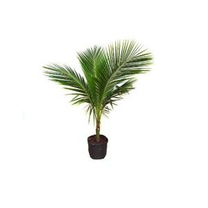 Coqueiro Anã Pote 40