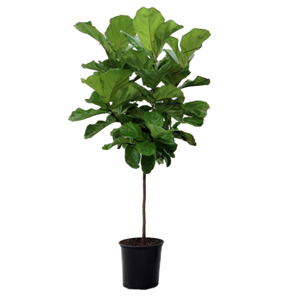F cus lyrata 180cm pote 40 leroy merlin for Plantas artificiales leroy merlin