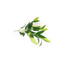 Flor de Corte Lírio Oriental 3 Hastes Maço