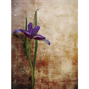 Gravura Orquídea Roxa 40x30cm