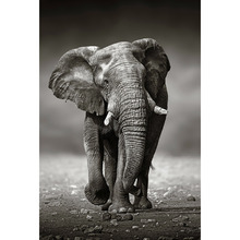 Gravura Elefante Preto e Branco 91x61cm