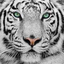 Gravura Tigre Preto e Branco 30x30cm