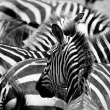 Gravura Zebra Preto e Branco 30x30cm