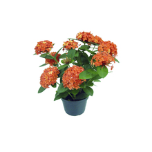 Ixora Red Star Star 8L