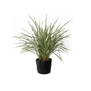 Liriopsis Pote 5