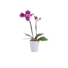Mini Phalaenopsis Pote 6