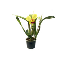 Orquídea Catlleya 2 Folhas Pote 15