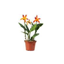Orquídea Catlleya Mini Pote 15