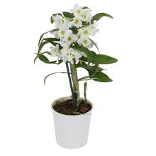 Orquídea Dendrobium Noblily Pote 12