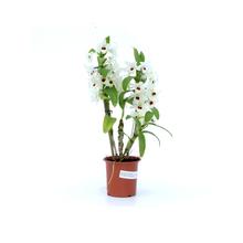 Orquídea Dendrobium Noblily Pote 15