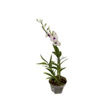 Orquídea Denphalaen Pote 12