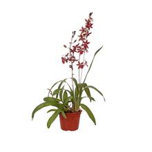Orquídea Denphalaen Pote 13
