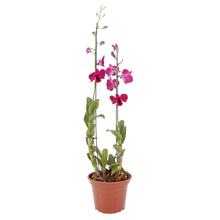 Orquídea Denphalaen Pote 15