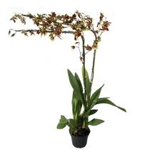Orquídea Oncidium Pote 15