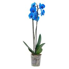 Orquídea Phalaenopsis 11 Flores Azul Pote 12