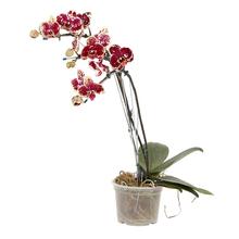 Orquídea Phalaenopsis 2 Hastes Pote 15