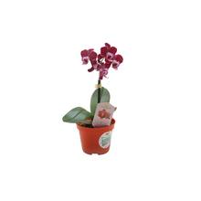 Orquídea Phalaenopsis Mini Pote 06