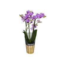 Orquídea Phalaenopsis Mini Pote 09