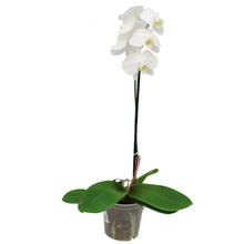 Orquídea Phalaenopsis Pote 15