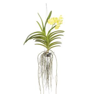 Orquídea Vanda Cesta Vazada