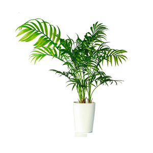 Palmeira Areca Bambú X3 Vaso 50cm