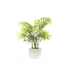 Palmeira Areca Bambú X5 Vaso 50cm