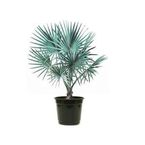 Palmeira Azul Pote 60