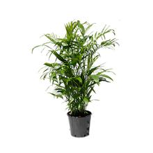 Palmeira Chamaedora Seifrizil Pote 30