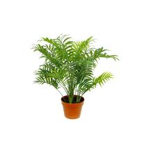 Palmeira Chamaedorea Elegans Pote 11