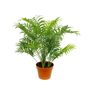 Palmeira Chamaedorea Elegans Pote 15