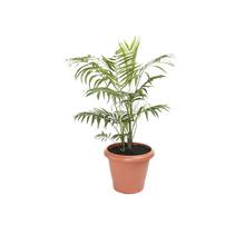 Palmeira Chamaedorea Elegans Pote 17