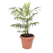 Palmeira Chamaedorea Elegans Pote 24