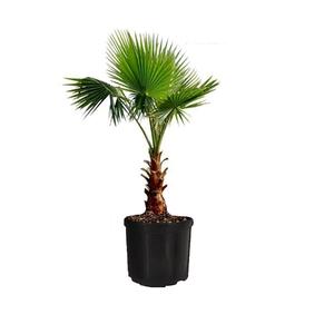 Palmeira Chamaeropsis Pote 45