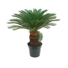 Palmeira Cycas Revoluta Pote 19