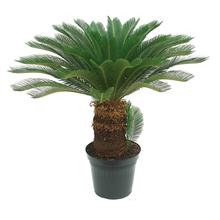 Palmeira Cycas Revoluta Pote 40