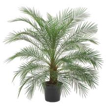 Palmeira Phoenix Pote 50