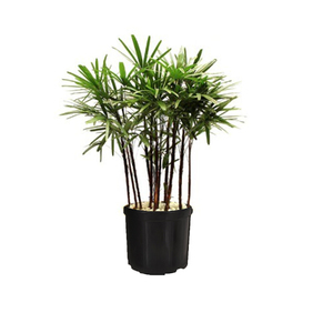 Palmeira Raphis 8 a 10 Hastes 180cm Pote 60