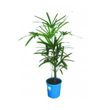 Palmeira Raphis Pote 24