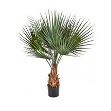 Palmeira Washigntonia Touceira 60L