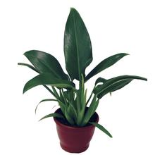 Philodendron Pacová Pote 40