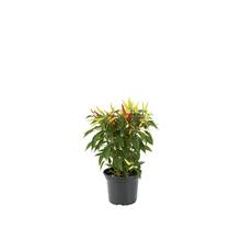 Pimenta Ornamental Pote 06
