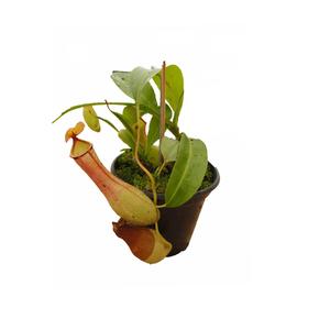 Planta Carnivora Pote 14