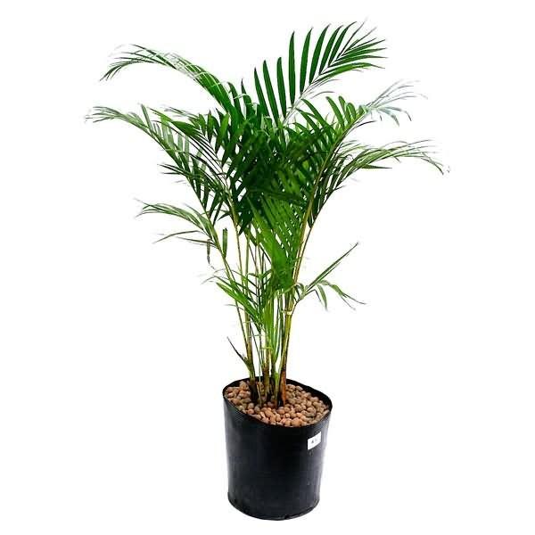 Planta natural areca bambu dypsis lutescens vaso 24cm for Plantas decorativas en leroy merlin